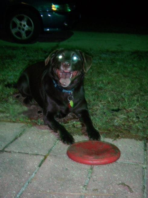 Mocha & her new frisbee